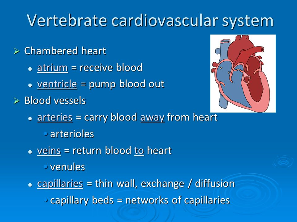 the characteristics of cardiovascular conditioning in the human body The circulatory and respiratory systems work together to give the body the oxygen it needs they also team up to get rid of carbon dioxide, which is a waste product in the body the circulatory system includes the heart, a major muscle in the body, and the pathways to transport blood, which are the .