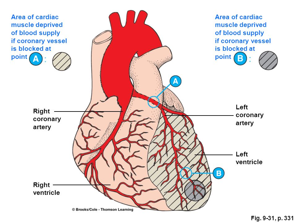 Anatomy Of Heart Blood Supply Image collections - human body anatomy