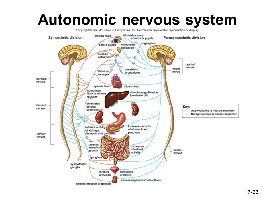 the nervous system ppt The nervous system outline nervous system central nervous system peripheral nervous system effects of aging homeostasis part i – nervous system nervous system objectives description of the three functions of the nervous system description of the structure of a neuron.