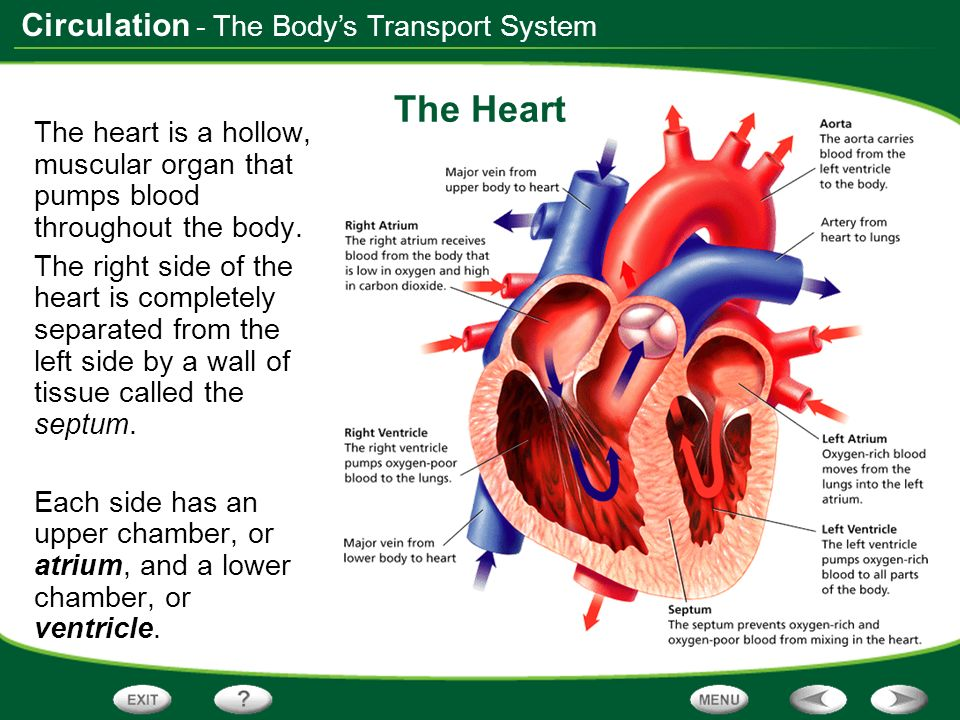 Table of contents the bodys transport system ppt download the heart the bodys transport system ccuart Images