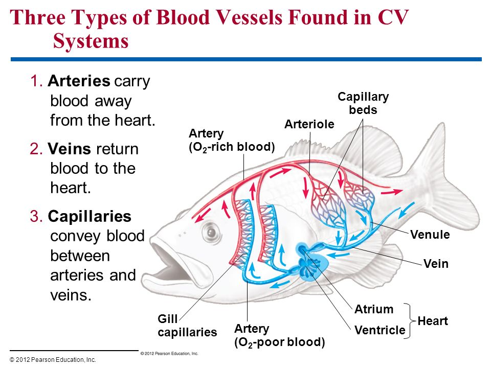 Circulatory System - PowerPoint PPT Presentation