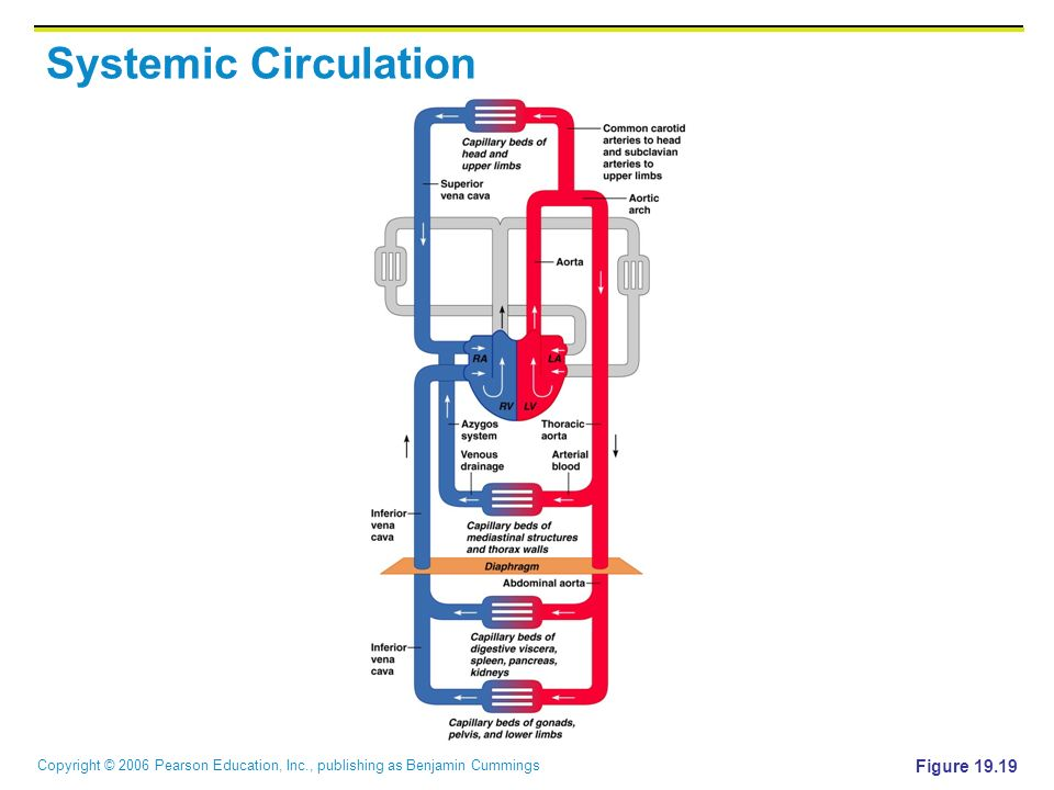 Systemic Circulation Figure 19.19