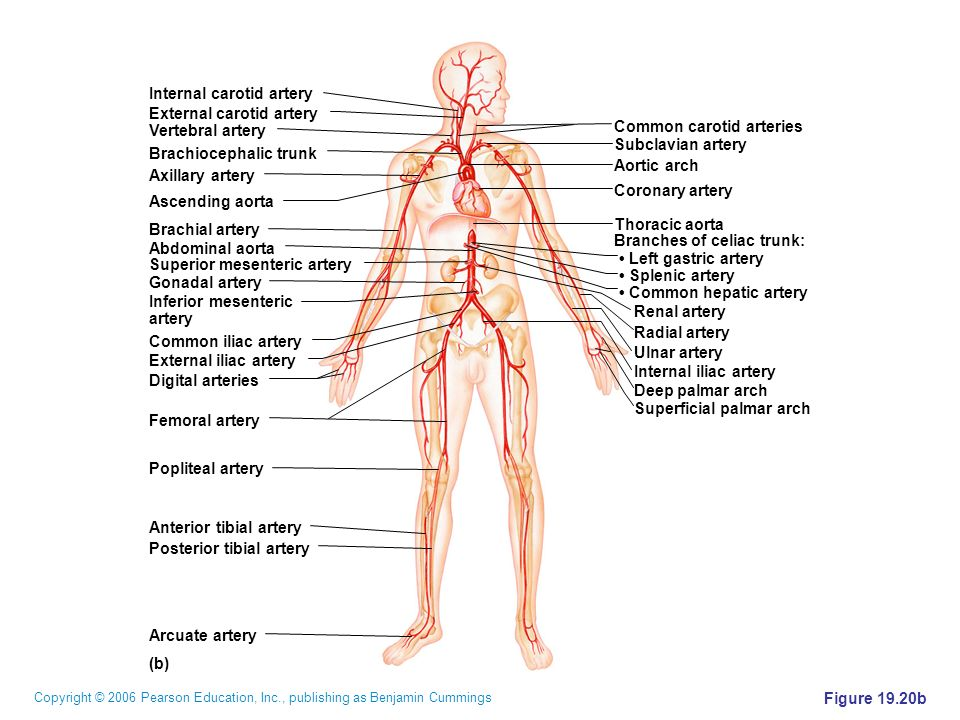 (b) Common carotid arteries. Subclavian artery. Aortic arch. Coronary artery. Thoracic aorta. Branches of celiac trunk: