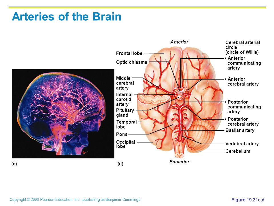 Arteries of the Brain Anterior Cerebral arterial circle