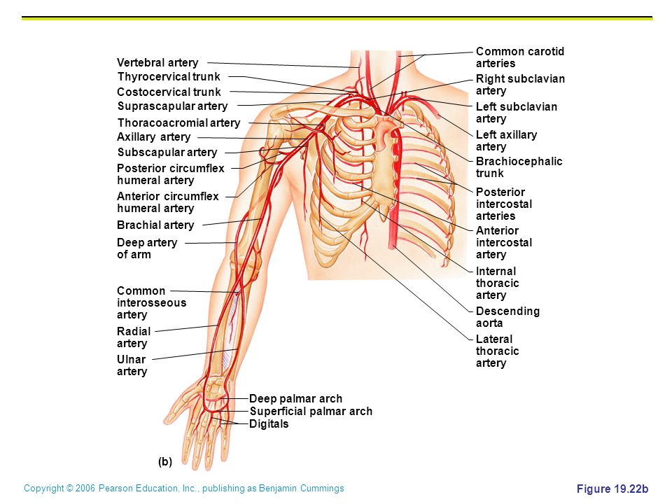 Common carotid arteries. Vertebral artery. Thyrocervical trunk. Right subclavian. artery. Costocervical trunk.