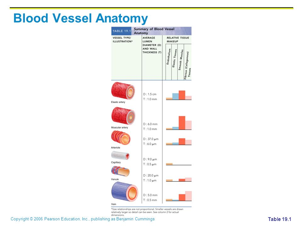 Blood Vessel Anatomy Table 19.1