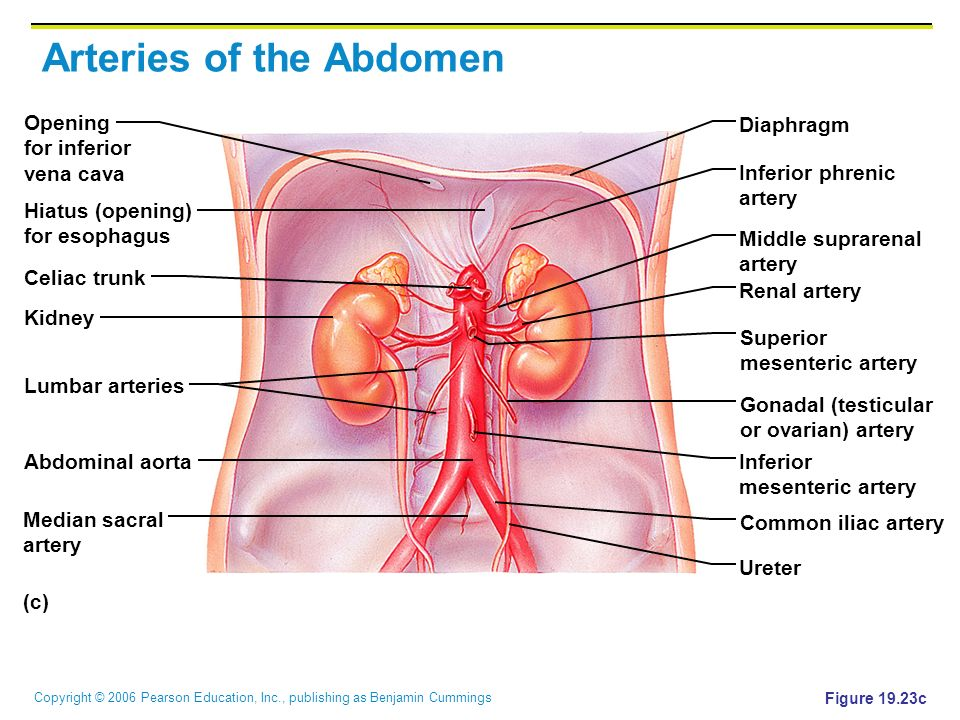 Arteries of the Abdomen