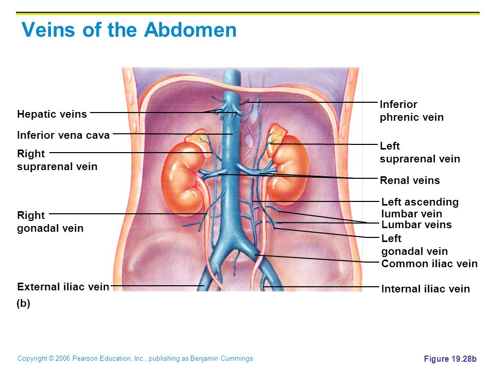 Veins of the Abdomen Inferior phrenic vein Hepatic veins