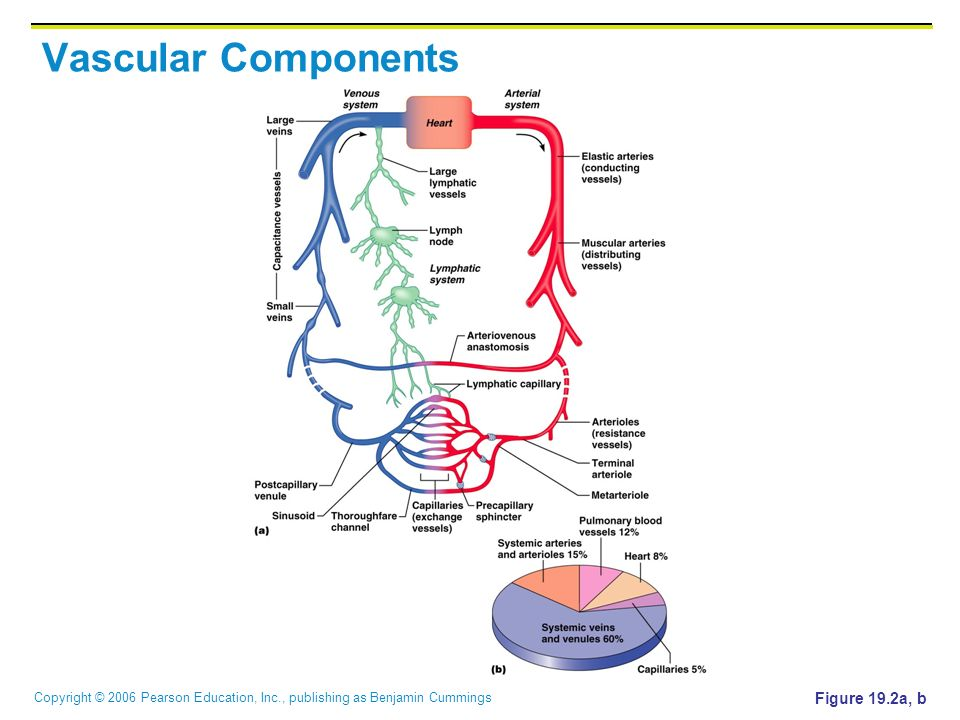 Vascular Components Figure 19.2a, b