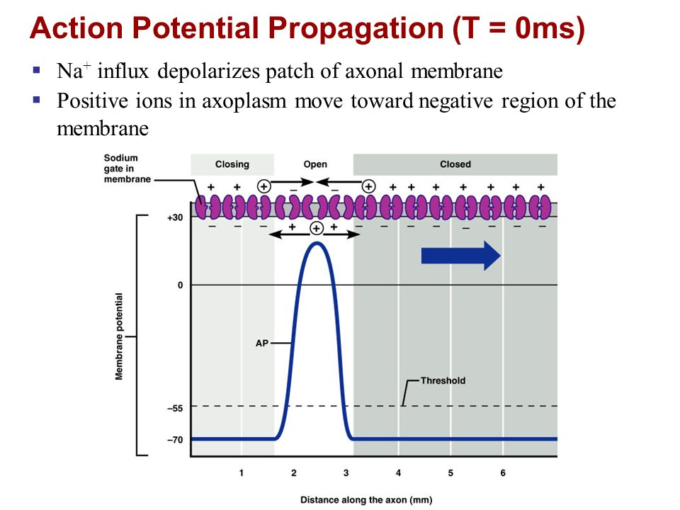 Action Potential Propagation (T = 0ms)