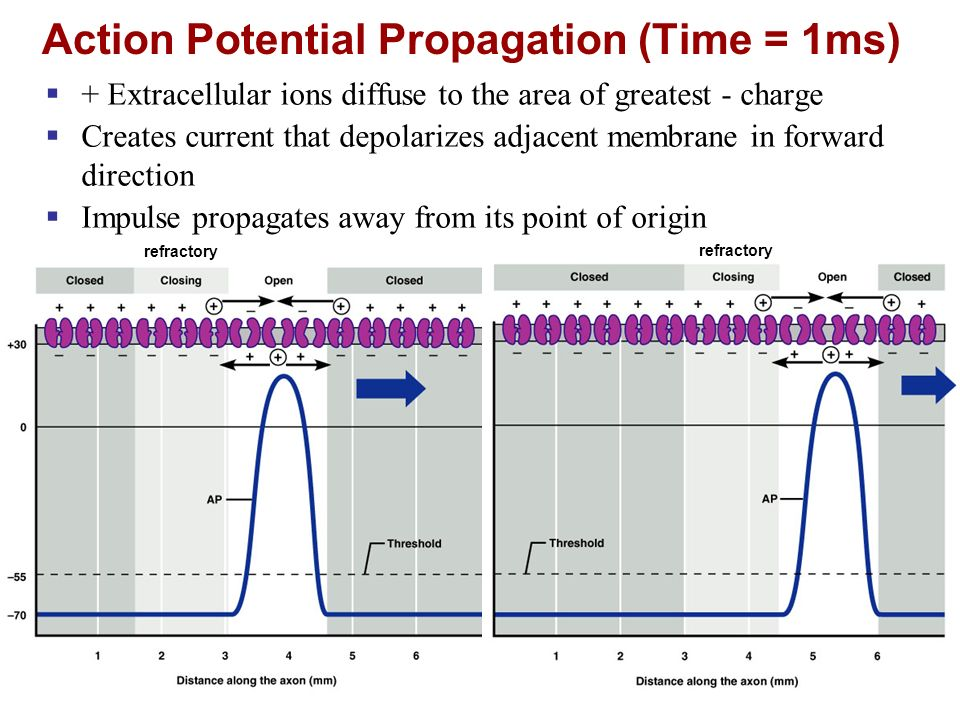 Action Potential Propagation (Time = 1ms)