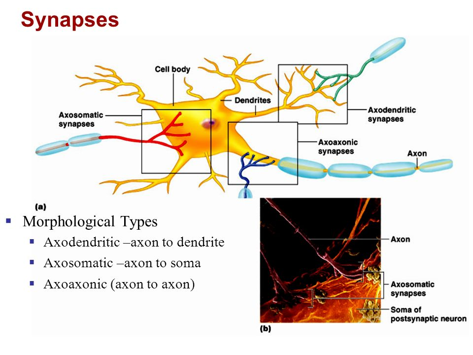 Synapses Morphological Types Axodendritic –axon to dendrite