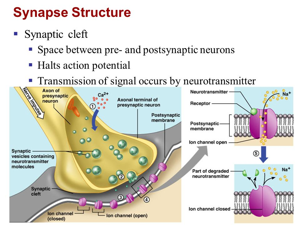 Synapse Structure Synaptic cleft