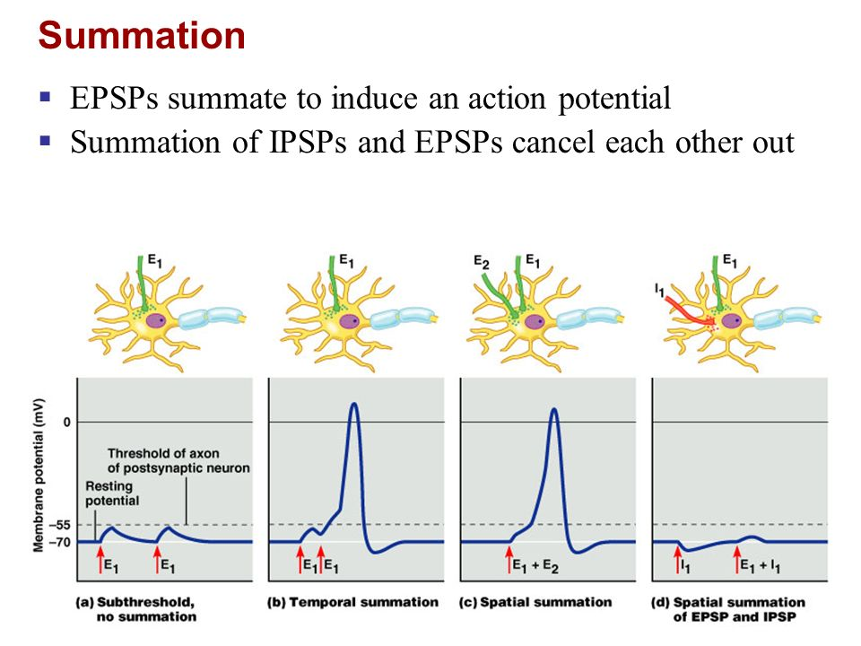 Summation EPSPs summate to induce an action potential