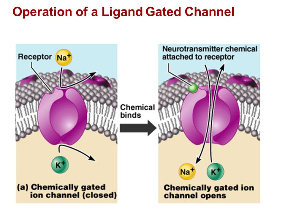 Operation of a Ligand Gated Channel