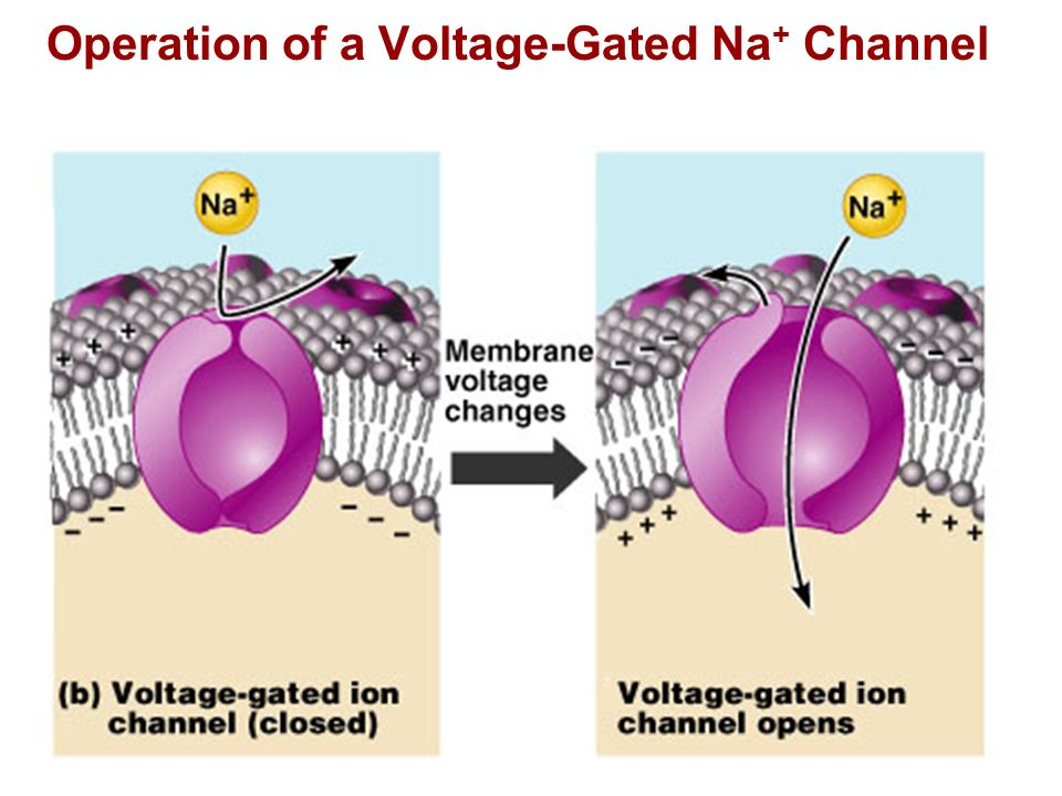 Operation of a Voltage-Gated Na+ Channel