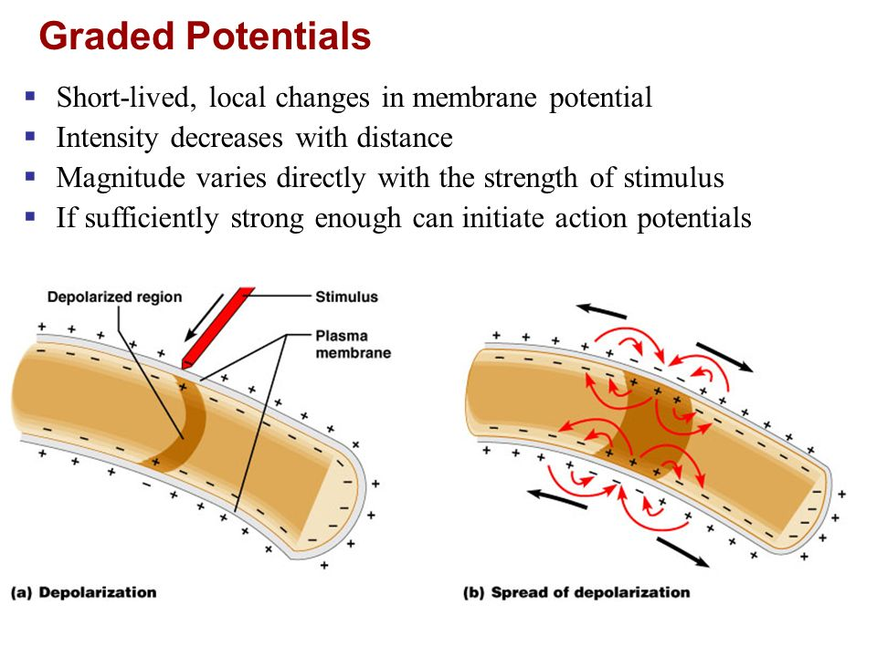 Graded Potentials Short-lived, local changes in membrane potential
