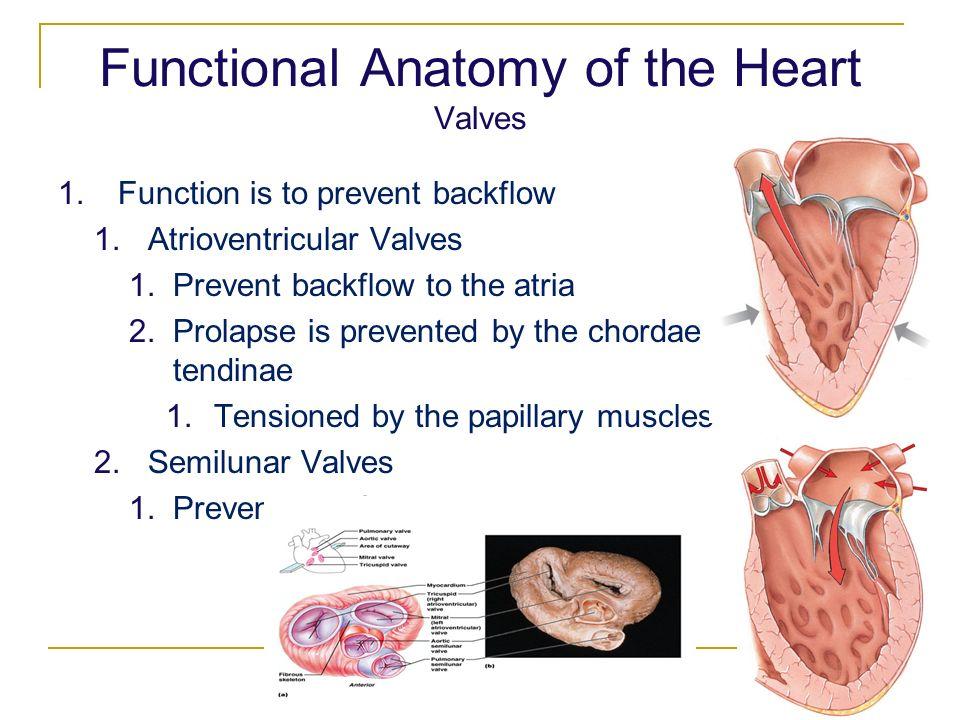 Functional anatomy of heart