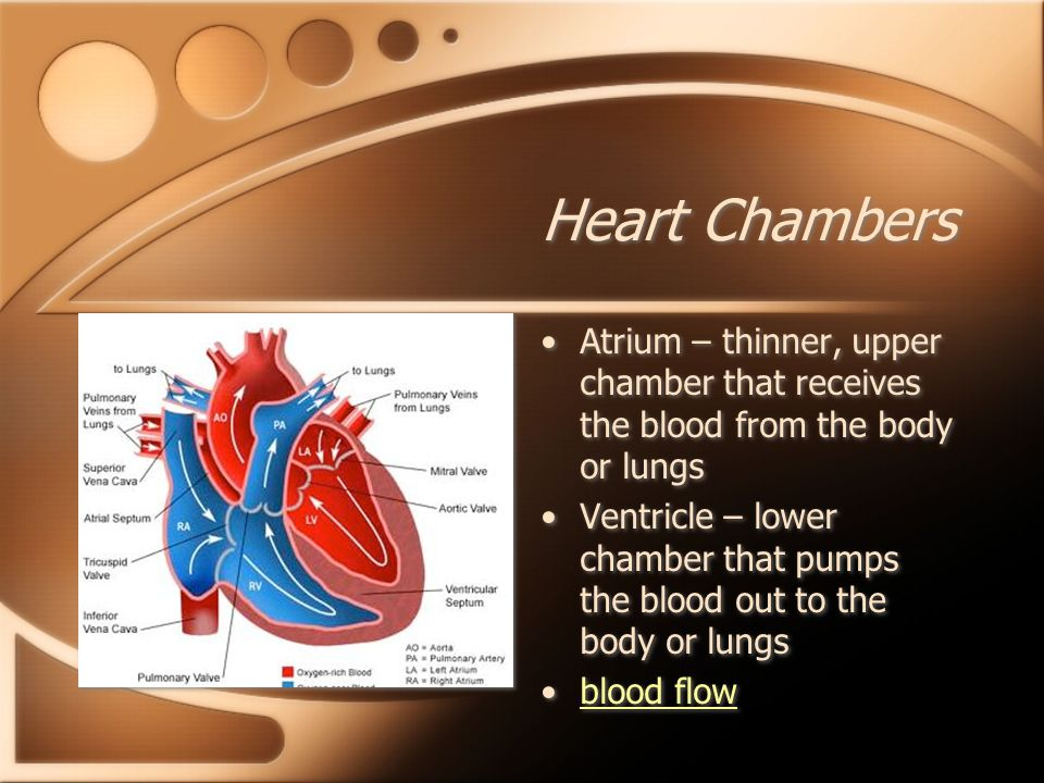 Heart Chambers Atrium – thinner, upper chamber that receives the blood from the body or lungs.