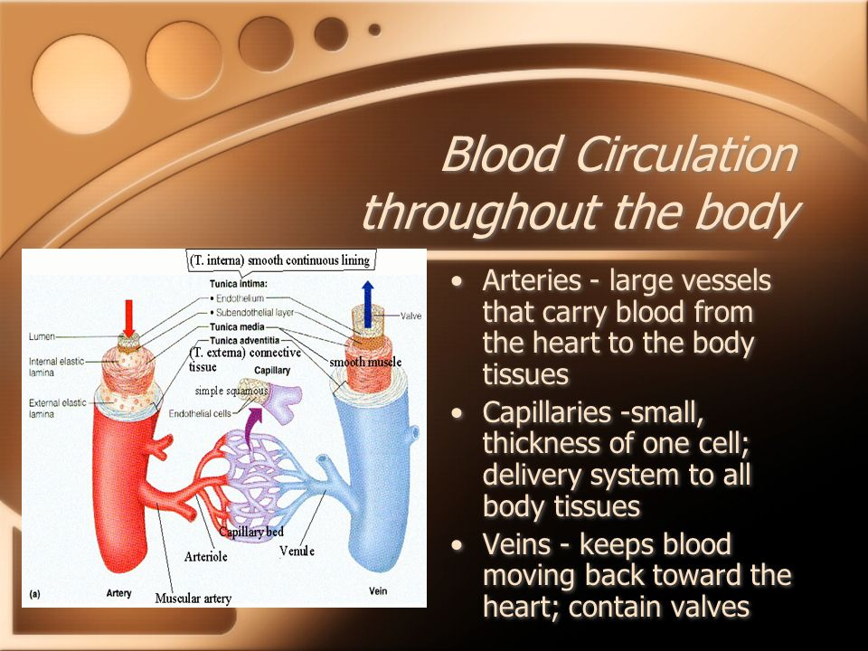 Blood Circulation throughout the body