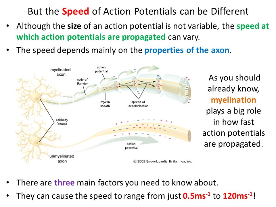 How Fast Can A Nerve Impulse Travel