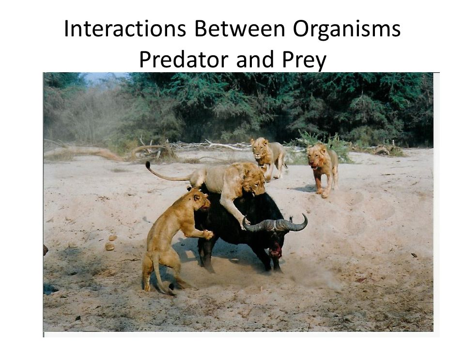 Interactions Between Organisms Predator and Prey