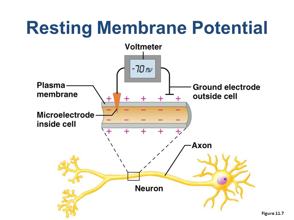 Membrane potential college paper writing service bptermpapergcbe membrane potential the resting potential for a ventricular myocyte is about 90 mv which ccuart Images