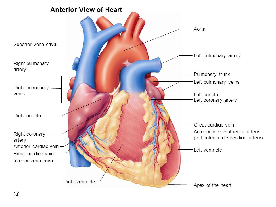 relationship of aorta and pulmonary artery