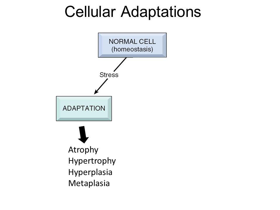 Cellular Adaptations Atrophy Hypertrophy Hyperplasia Metaplasia