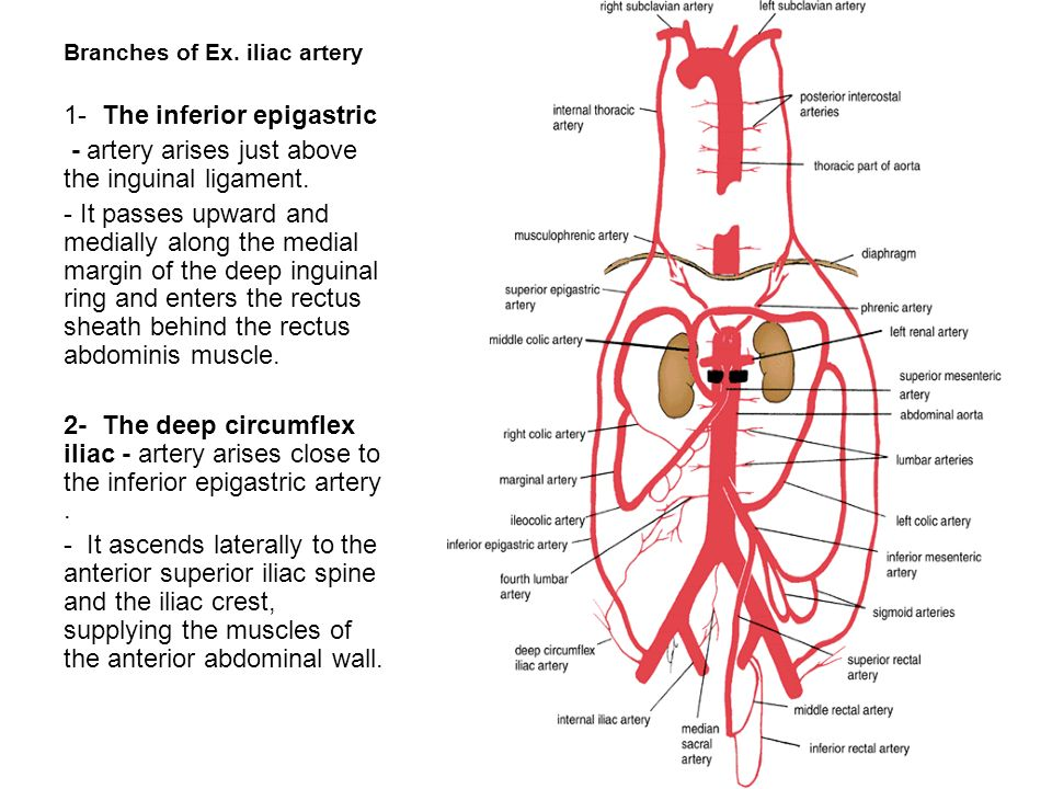 Diagram Of The Internal Epigastric Artery Auto Electrical Wiring