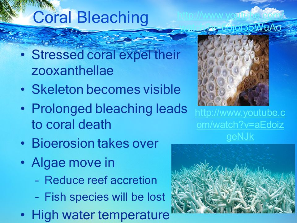 coral bleaching essay Advertisements: the below mentioned article provides an essay on coral bleaching coral bleaching refers to loss of algae from the corals resulting into the white colour which is indicative of death of corals.