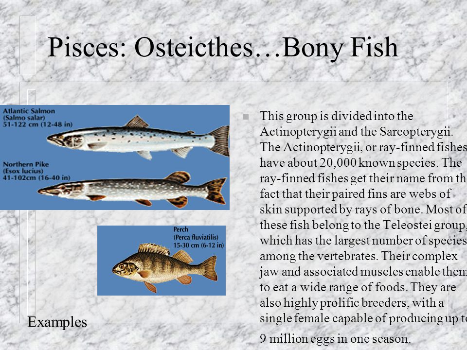 Vertebrates and their classification ppt video online for Types of bony fish