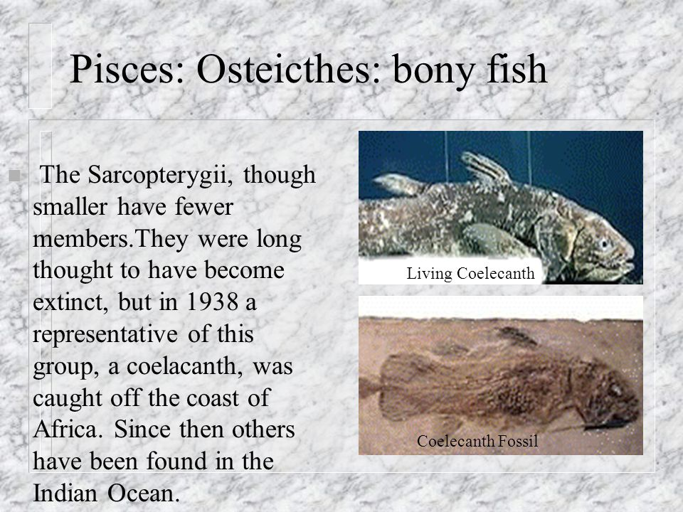 Vertebrates and their classification ppt video online for Bony fish characteristics