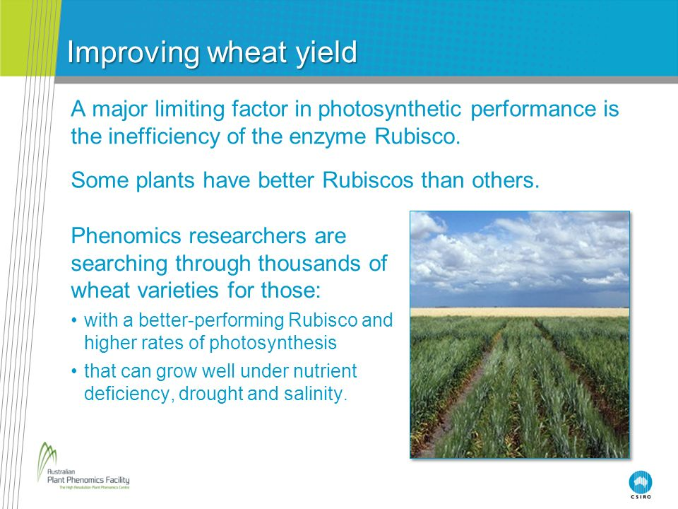 Improving wheat yield A major limiting factor in photosynthetic performance is the inefficiency of the enzyme Rubisco.