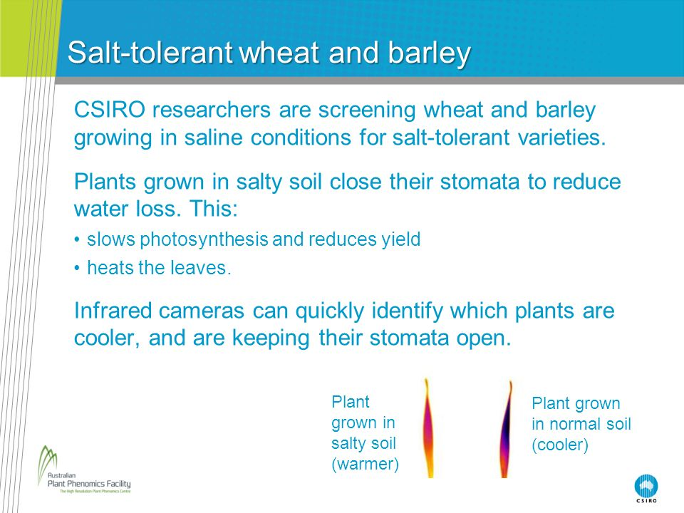 Salt-tolerant wheat and barley