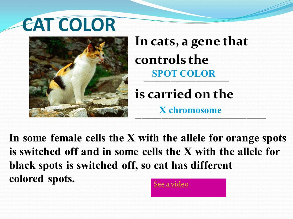 CAT COLOR In cats, a gene that controls the _____________