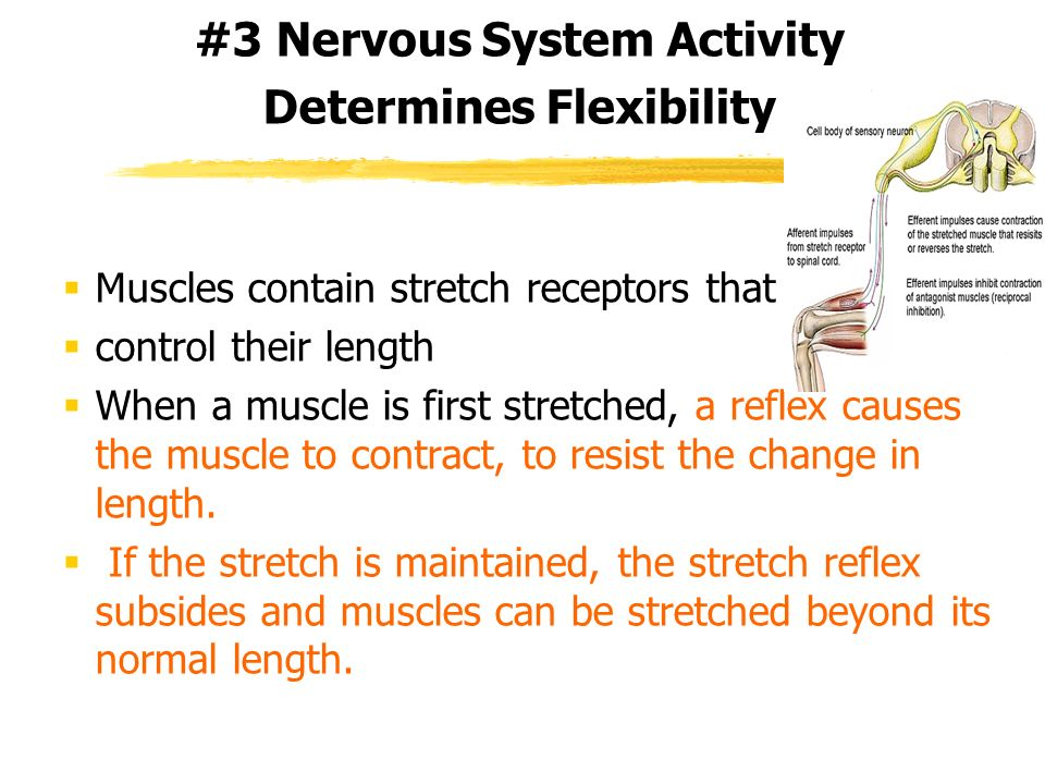 #3 Nervous System Activity Determines Flexibility