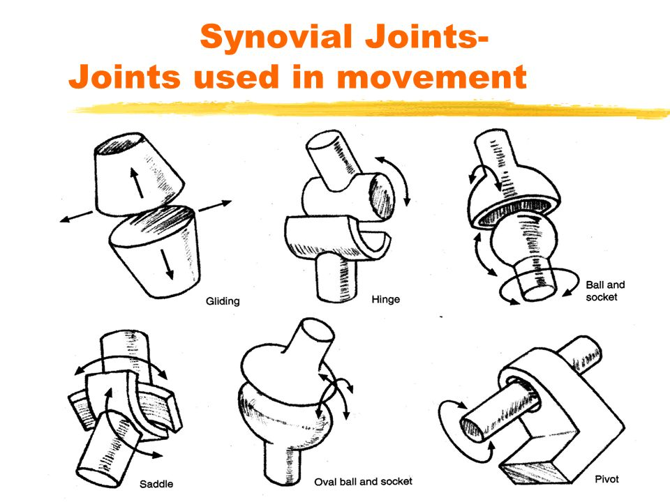 Synovial Joints- Joints used in movement