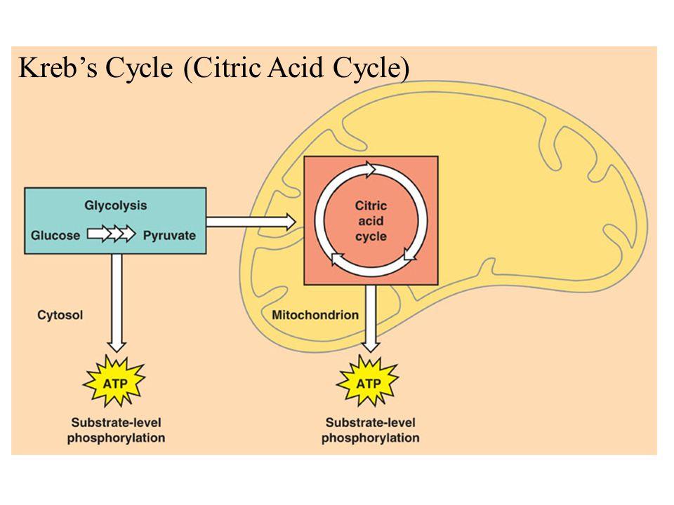 Kreb's Cycle (Citric Acid Cycle)