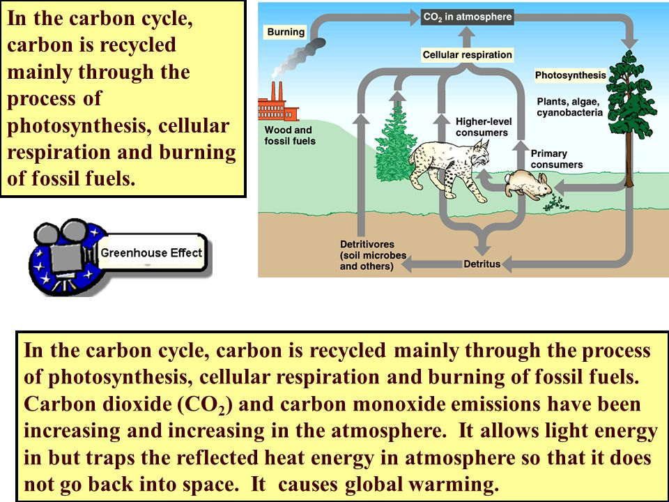 the process of photosynthesis within a carbon cycle How does the carbon cycle relate to photosynthesis and respiration respiration is process of breaking down to how are photosynthesis and the carbon cycle.