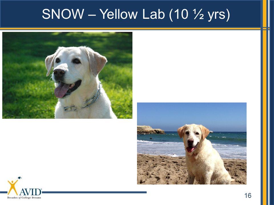 SNOW – Yellow Lab (10 ½ yrs)