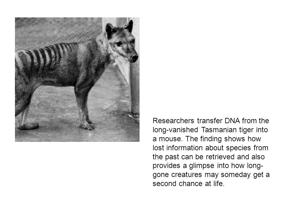 Researchers transfer DNA from the long-vanished Tasmanian tiger into a mouse.