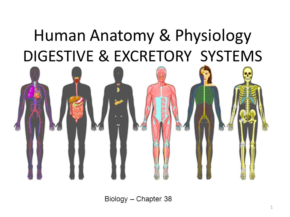 Human Anatomy Physiology DIGESTIVE EXCRETORY SYSTEMS