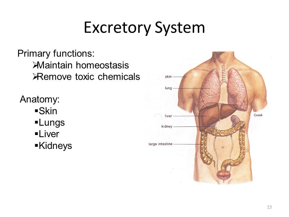 human anatomy & physiology digestive & excretory systems - ppt, Cephalic vein
