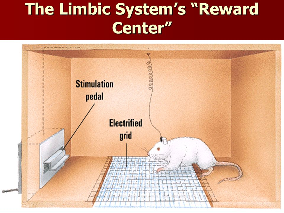 The Limbic System's Reward Center