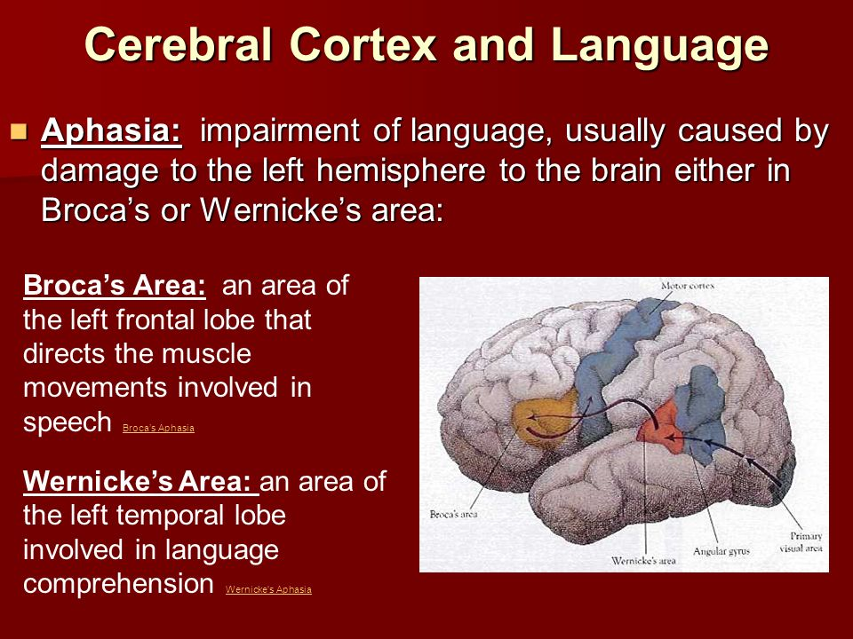 Cerebral Cortex and Language