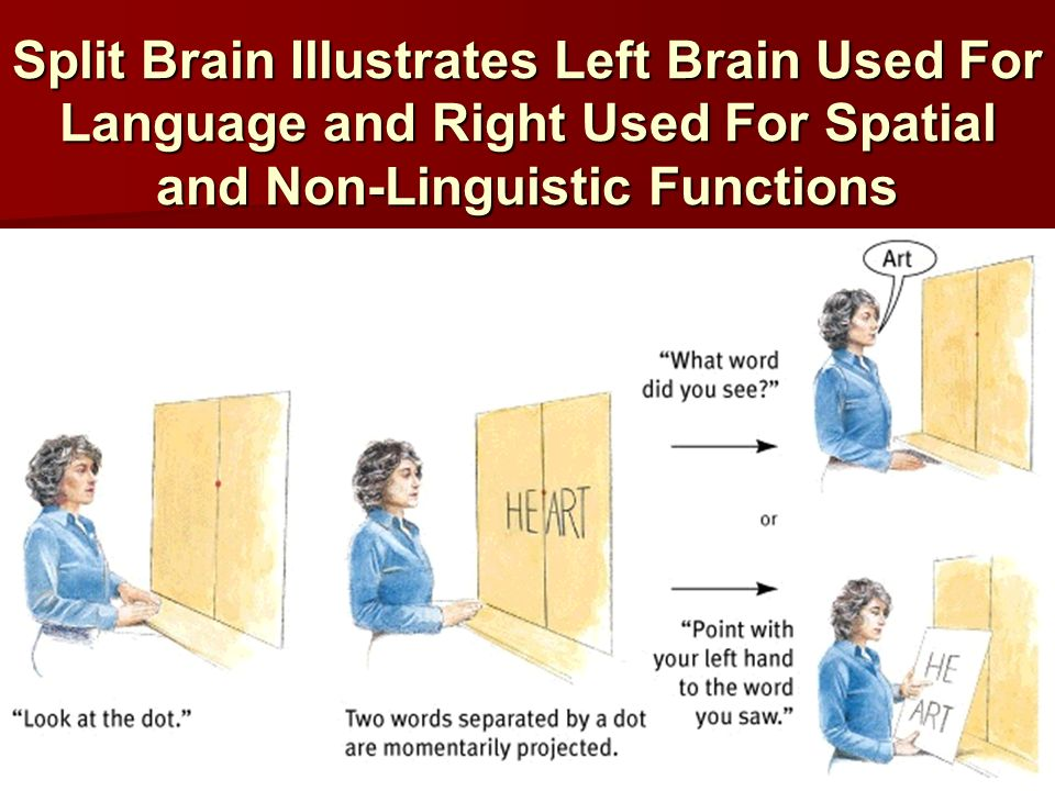 Split Brain Illustrates Left Brain Used For Language and Right Used For Spatial and Non-Linguistic Functions