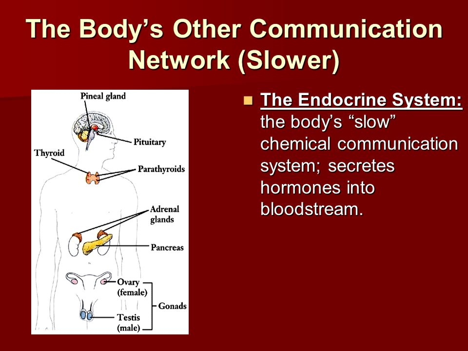 The Body's Other Communication Network (Slower)