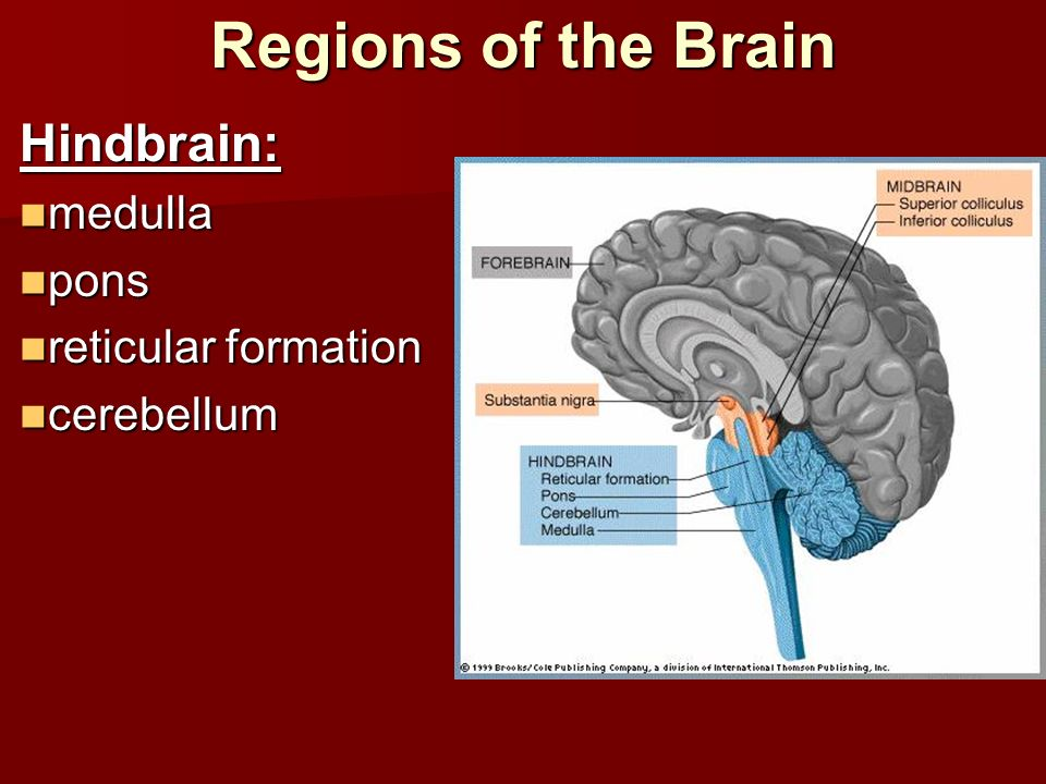 Regions of the Brain Hindbrain: medulla pons reticular formation