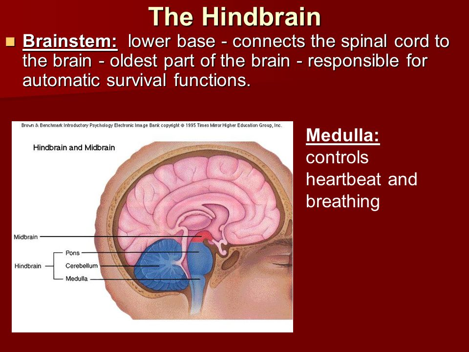 The Hindbrain